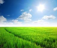 Grünes Gras des Reisfeldes Stockfoto