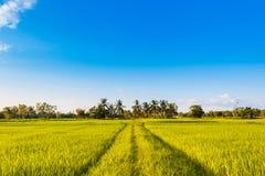 Grünes Gras des Reisfeldes mit blauem Himmel Stockfotos