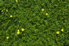 Grünes Gras des Silverweed mit Gelb blüht Hintergrund Lizenzfreie Stockfotografie