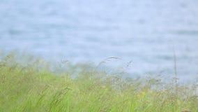 Grünes Gras gegen blaues Wasser Struktureller Hintergrund eines hellgrünen Grases nahe dem Fluss stock video footage