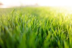 Grünes Gras gegen den Sonnenuntergang Stockbild