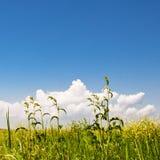 Grünes Gras, gelbe Blumen und vollkommener Himmel Lizenzfreie Stockfotografie