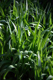 Grünes Gras II Stockfotografie