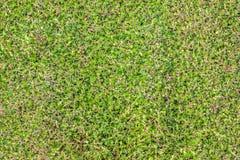 Grünes Gras im Gartengemüse Stockbild