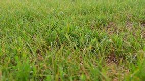 Grünes Gras im Park im Sommer Die langsame Bewegung der Kamera durch Grashalme Pflanzliche Erzeugung und stock video