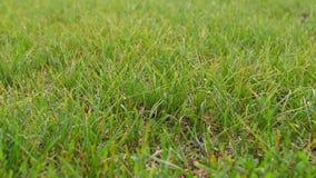 Grünes Gras im Sommerpark Langsame Bewegung der Kamera durch den Rasen Pflanzliche Erzeugung und Erholung stock video footage
