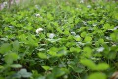Grünes Gras, kleine Blumen, Frühling stockbild