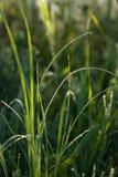 Grünes Gras mit dem Morgen befeuchtet Stockfotografie
