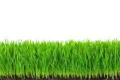 Grünes Gras mit fruchtbarer Boden-und Tropfen-Tau Stockfotografie