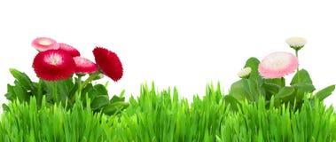 Grünes Gras mit Gänseblümchen blüht Grenze Stockbilder