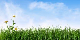 Grünes Gras mit Gänseblümchenblumen lizenzfreies stockbild