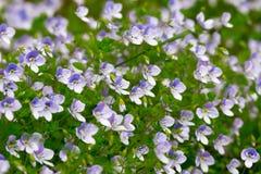 Grünes Gras mit kleinen blauen Blumen Stockfotografie