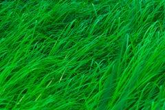 Grünes Gras mit langen Blättern Natürlicher grüner Stielgras-Beschaffenheitshintergrund Organischer und gesunder Hintergrund Hint Lizenzfreies Stockfoto