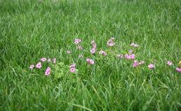 Grünes Gras mit rosafarbenen Blumen Stockbild