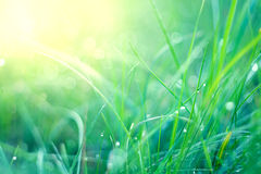 Grünes Gras mit Tau Lizenzfreies Stockfoto
