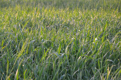 Grünes Gras mit Tau Stockfotos
