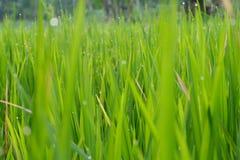 GRÜNES GRAS MIT TAU-TAPETEN-HINTERGRUND HD HD Stockfotografie