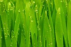 Grünes Gras mit Tautropfen. Stockbild