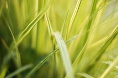 Grünes Gras mit Tautropfen Stockbilder