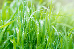 Grünes Gras mit Tautropfen des frühen Morgens Sun-Strahlen auf dem BAC Lizenzfreie Stockfotos