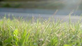 Grünes Gras mit Tropfen des Taus stock video