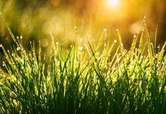 Grünes Gras mit Tropfen des Taus an der Hintergrundschönheit des Sonnenaufgangs im Frühjahr im Sonnenlicht der Natur Vegetation w lizenzfreie stockfotos