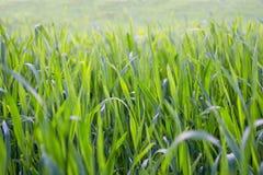 Grünes Gras oder Feld, Abschluss oben, selektiver Fokus Natürlicher grüner Hintergrund Lizenzfreie Stockfotografie