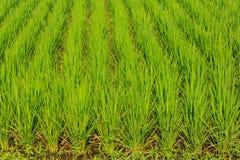Grünes Gras-Reis-Feld-Beschaffenheit Stockbild