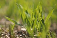 Grünes Gras am Sommer Lizenzfreie Stockfotografie