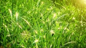 Grünes Gras summen herein laut stock video