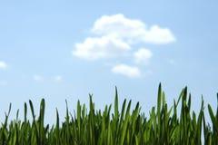 Grünes Gras und blauer Himmel Stockfoto