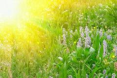 Grünes Gras und Blumen in den Sonnestrahlen Lizenzfreies Stockfoto