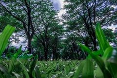 Grünes Gras und hoher Baum-blauer Himmel Stockfotografie