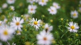 Grünes Gras und Kamille in der Natur clip Kamillenblumen auf einer grünen Wiese stockfotografie