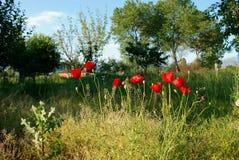 Grünes Gras und rote Mohnblumen im Frühjahr Stockfotografie