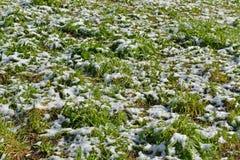 Grünes Gras und Schnee Mitte von Mai Stockfoto