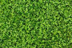 Grünes Gras-und Shamrock-Blatt-Hintergrund Stockfotografie