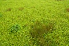 Grünes Gras und wild wachsende Pflanzen auf dem Gebiet Stockfoto