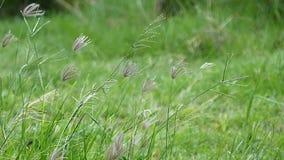 Grünes Gras und Wind stock video