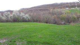 Grünes Gras vor Obstgartenpflaumen stockfotos