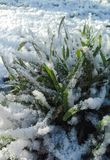 Grünes Gras, weißer Schnee Lizenzfreies Stockbild