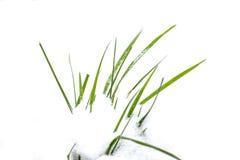 grünes Gras, weißer Schnee, Winterweiß Stockbild