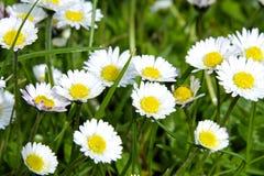 Grünes Gras wilde Daisy Flowers stockbilder