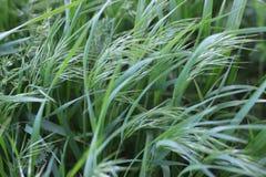 Grünes Gras wildnis Ährchen lizenzfreie stockfotografie