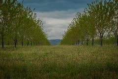 Grünes Gras zwischen Baumreihen auf Obstgarten unter blauem Sommerhimmel Stockfoto