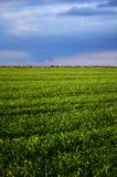 Grünes Hafer-Feld Stockfoto