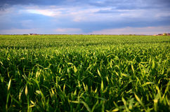Grünes Hafer-Feld Stockfotos