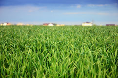 Grünes Hafer-Feld Lizenzfreies Stockfoto
