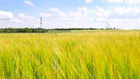 Grünes Hafergras, das auf dem Gerstengebiet in der Sommerzeit wächst Feld von reifenden Maispflanzen stock footage