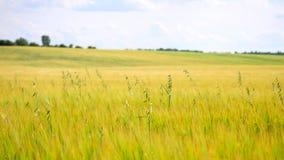 Grünes Hafergras, das auf dem Gerstengebiet in der Sommerzeit wächst Feld von reifenden Maispflanzen stock video footage